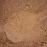 Elephant track